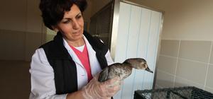 Yaralı bulunan yaban ördeği ameliyat edildi