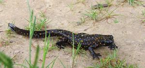 Tunceli'de yeni bir kurbağa alt türü tespit edildi
