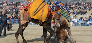 Buharkent deve güreşi festivaline hazır