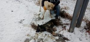 Mandıradaki 300 kazı kurttan köpekler kurtardı