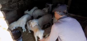 Karacasu'da kuzu ölümleri üreticiyi endişelendirdi