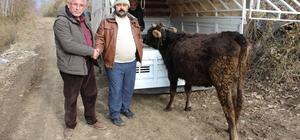 Yolda yaralı bulunan inek 40 gün sonra sahibine teslim edildi