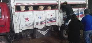 Besni'de 6 çiftçiye 78 adet büyükbaş hayvan