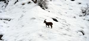 Tunceli'de yiyecek arayan yaban keçileri görüntülendi