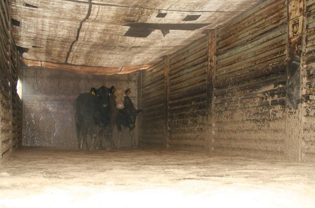 Devrek'te genç girişimci çiftçilere büyükbaş hayvan hibe edildi