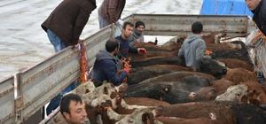 Genç çiftçilere hayvan dağıtımı