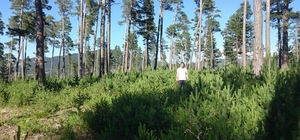 Koyulhisar'da ağaçlandırma çalışmaları