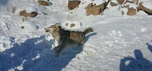 Sarıkamış'ta yol kenarında donmuş kurt bulundu