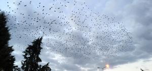 """Sakarya'da sığırcık kuşlarının """"dansı"""""""