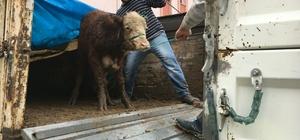 Kastamonu Cide'de çiftçilere 18 adet sığır hibe edildi