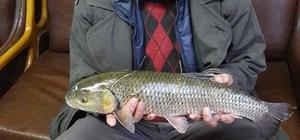 Oltu Çayında 2.5 kiloluk sazan balığı yakaladı