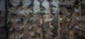 """Türkiye'nin """"damızlık güvercinleri"""" Şanlıurfa'dan"""