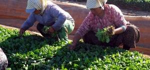 Ege'nin tütün ihracatı 1 milyar doları aştı