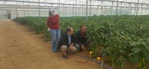 Kış şartlarına dayanıklı biber tohumu üretimi