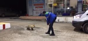 Aç kalan tilki benzin istasyonuna sığınarak karnını doyurdu