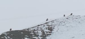 Kızıl akbabalar için doğaya foto kapan bırakıldı