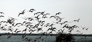 """Orta Karadeniz'de """"kış ortası su kuşu sayımı"""""""