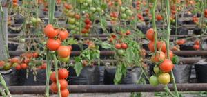 Termal su ile domates üretiyor