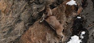 Koruma altındaki dağ keçilerinin yiyecek arayışı kameraya yansıdı
