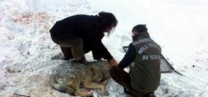 Yaralı kurt, tedavi altına alındı