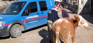 Amasya'da hayvan hırsızlığı operasyonu