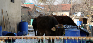 Bolu'da kuduz karantinası