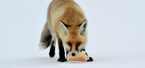 Aç kalan tilkiyi ekmekle besledi