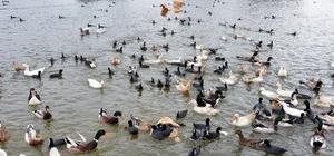Ördekler Mogan'da doğal yaşama kavuştu