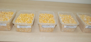 Dane mısır ihalesi yapıldı