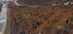 Gebze Beylikbağı'na 250 bin adet ağaç