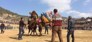 Kuyucak deve güreşi festivali renkli başladı