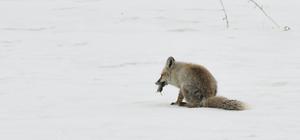 Aç kalan tilkilerin karda fare avı