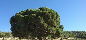 Yoğun kar yağışı nedeniyle 300 yıllık çam ağacının dalları kırıldı