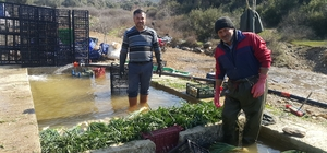 Doğal antibiyotik yeşil soğan Tire'de yetişiyor