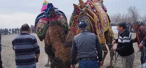 Çardak Kum adasında deve güreşleri yapıldı