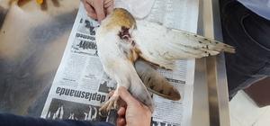 Yaralı halde bulunan peçeli baykuş tedavi edildi