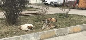 Alaplı'ya bırakılan köpekler için belediye alarmda