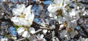 Mersin'de meyve ağaçları çiçek açtı