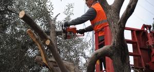 Kepez-Santral'in ağaçları koruma altında