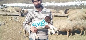 Erzincanlı çoban referandum oyunu kuzusunun üzerine yazdı