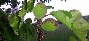 Kayısı da ilkbahar hastalıklarına karşı çiftçiler uyarıldı