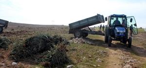 Hazine arazisine dikilen 17 bin zeytin fidanı söküldü