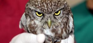 Yaralı yavru baykuş tedavi altına alındı