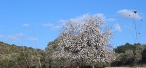 Aydın'da meyve ağaçları çiçek açtı
