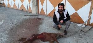 Aç kalan kurtlar işyerinin önüne bağlı köpeği yedi