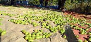 Zeytin ve zeytinyağı Ortadoğu sofralarını süslüyor