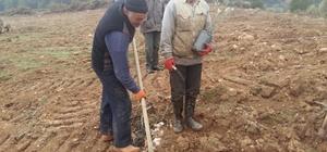 Orman işletme müdürlüğü köylüye zeytin fidanı dikiyor