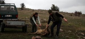 Bolu'da akbabalar için yem bırakıldı