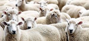 Aydın'da 16 çiftçiye 640 koyun dağıtıldı