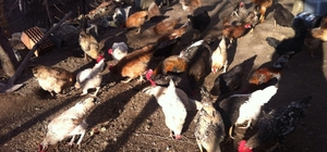 kdağmadeni'nde vatandaşa kene avcısı 'Atak' cinsi tavuk dağıtılacak